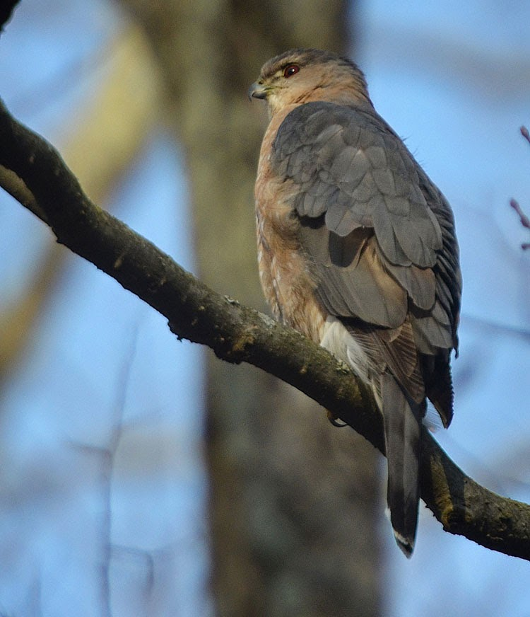 A beautiful Cooper's Hawk with vibrant red eyes surveys his territory.