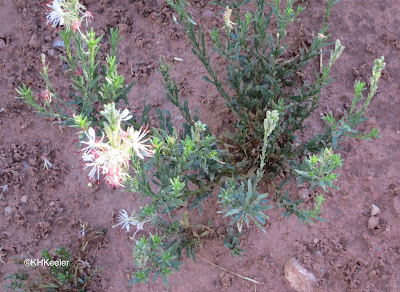 Oenothera suffrutescens scarlet gaura