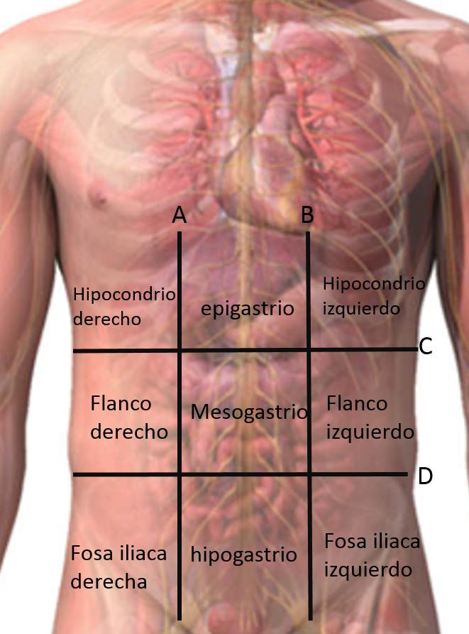 Morfofisiologia 1: POSICION Y UBICACION ANATOMICA