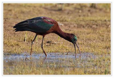 ibis castaña Plegadis falcinellus