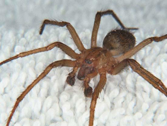 [Image: Hobo-Spider2.jpg]