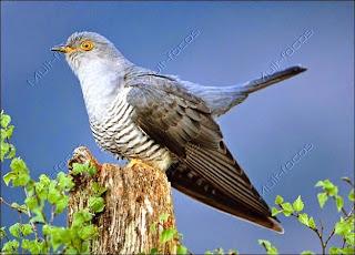 Pássaro cuco