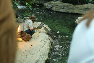 A man from Gatorland feeding the juvenile alligators at the Gaylord Palms.
