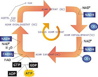 Biologi Berbagi Metabolisme Sel