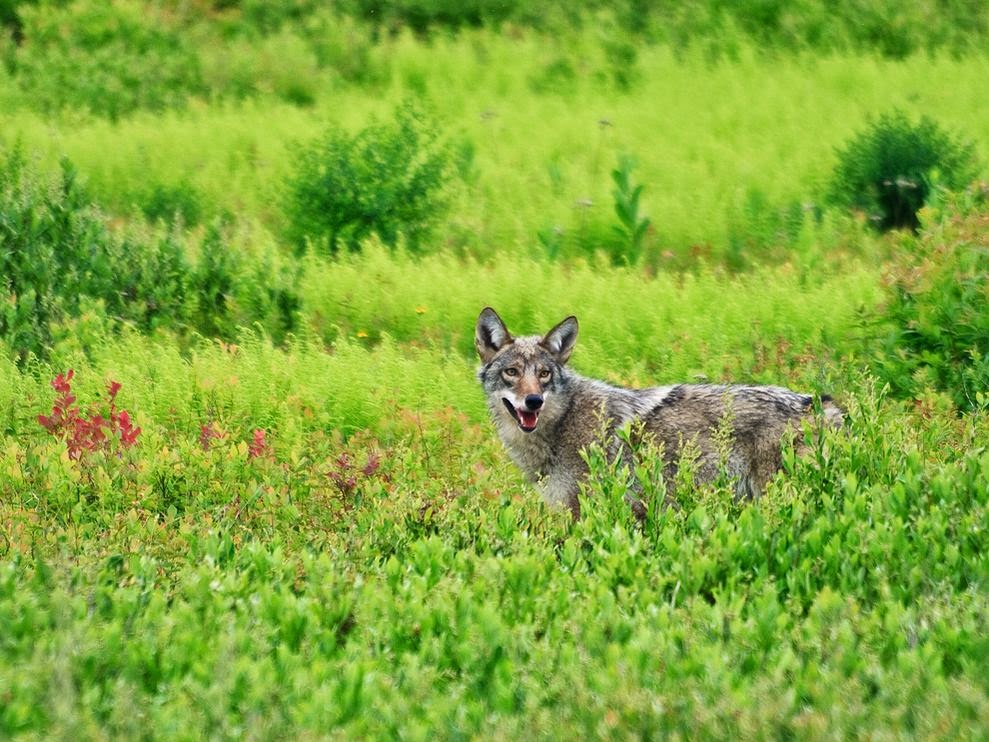 an analysis of the characteristics and behavior of the coyote in north american canids Canids are among the most widely distributed carnivores and if the eastern north american wolf is treated as a distinct encyclopedia of life global navigation.