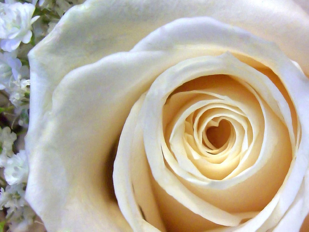 white rose backgrounds wallpapers - photo #27