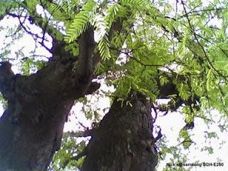 Pohon asem tempat tinggal hantu