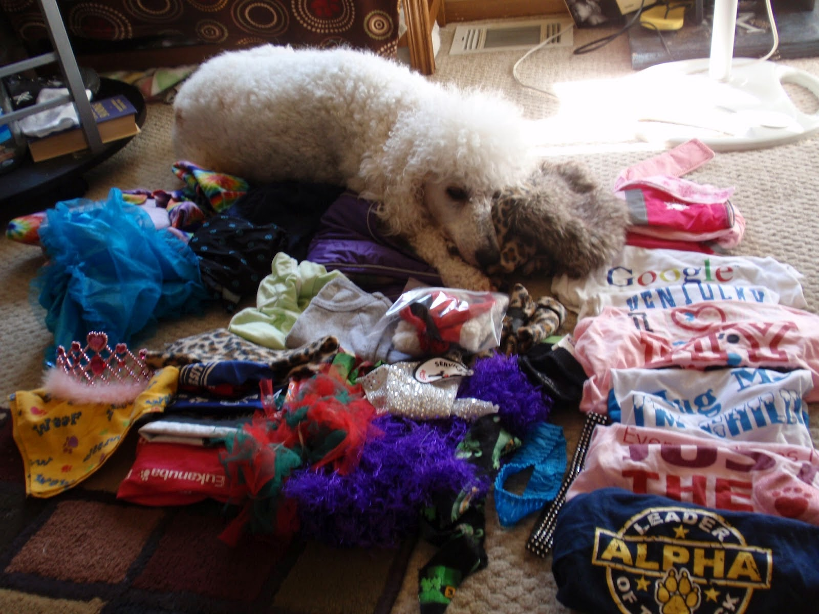Poodle laying near a pile of clothing