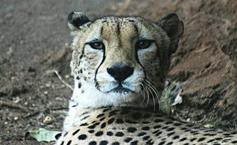 cheetah honolulu zoo hawaii