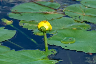 Yellow Pond-Lily (Nuphar variegata)