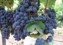 Jenis-Jenis Tanaman Anggur