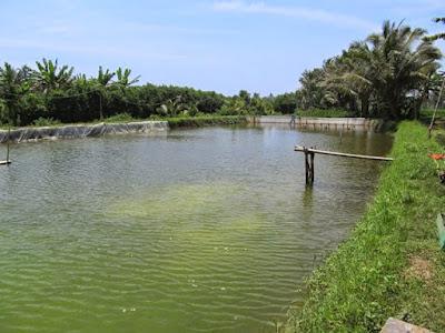 Warna Air pada Budidaya Udang Vaname | Agro Nusantara | www.agrotaninusantara.com