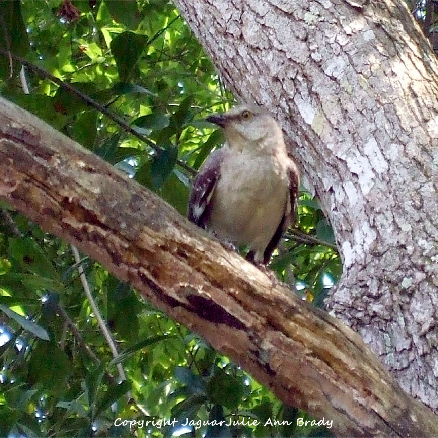 Adult Mockingbird Protective Behavior 12