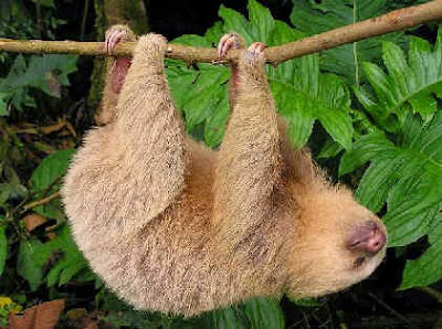 Hoffmann´s Two-toed Sloth