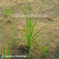 Yellow Nutsedge or Nutgrass