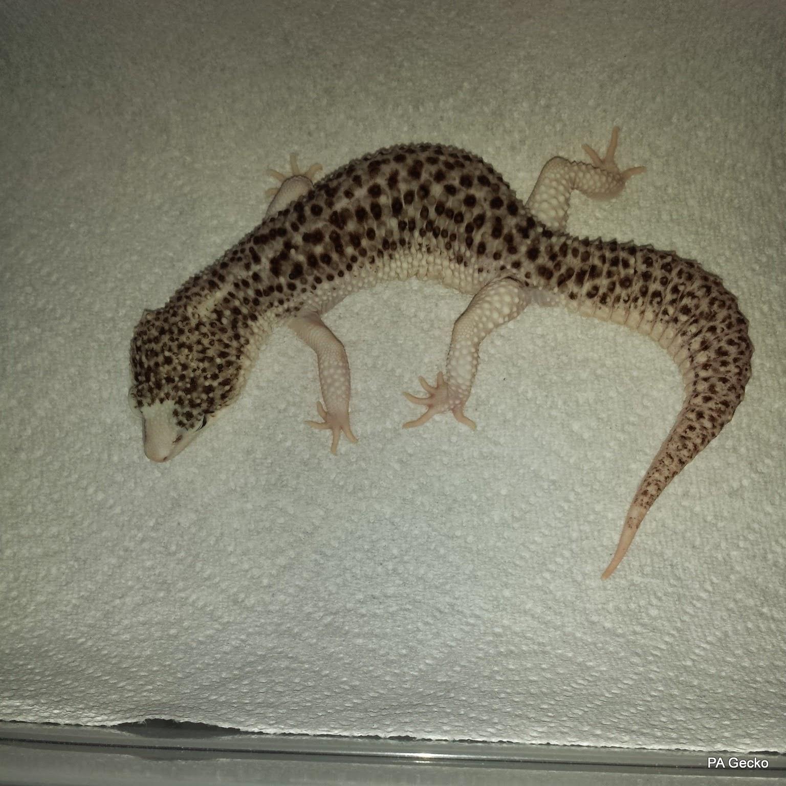 PA Gecko Super Snow Eclipse Male