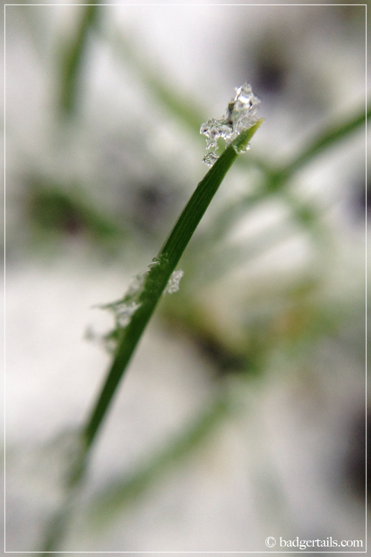 Macro - Blade of Grass in Snow