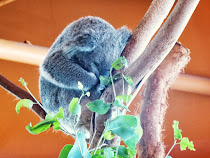 El Koala