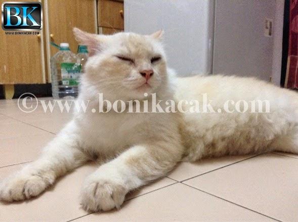 gambar kucing putih, kucing putih, membela kucing putih, kucing hilang, kucing terlepas keluar