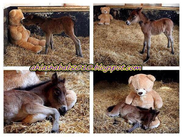 Pictures - his mother died during his birth .. The owner of the barn leave Dabdoub to make up for his Mother's kindness