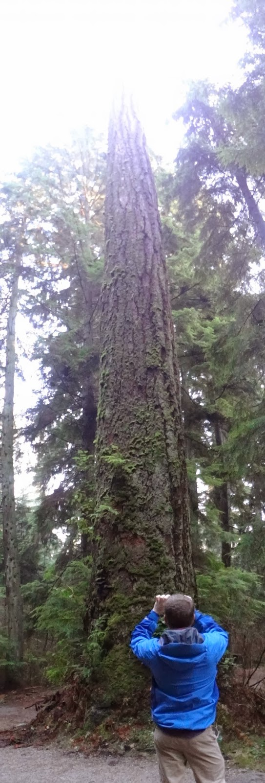 Huge tree in Vancouver's Stanley Park