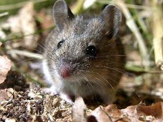 Foto: Rata del campo