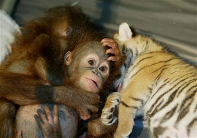 White Wolf   Orangutan...