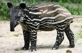Động vật kì lạ: Heo vòi
