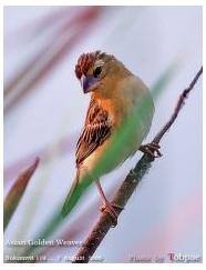 Asian Golden Weaver, Manyar emas asia