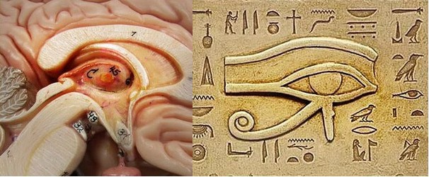 THE PINEAL GLAND THE PSYCHEDELIC SINGLE EYE  Hidden Meanings