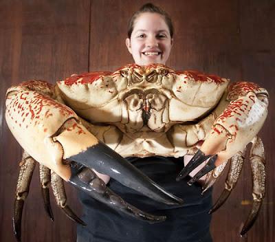 Pengurus akuarium Sea Life, Jemma Battric, memegang ketam gergasi diberi nama Claude, yang saiznya menyamai 100 ekor ketam biasa di Britain. Ia akan dipamerkan di akuarium Sea Life, Weymouth, Dorset.