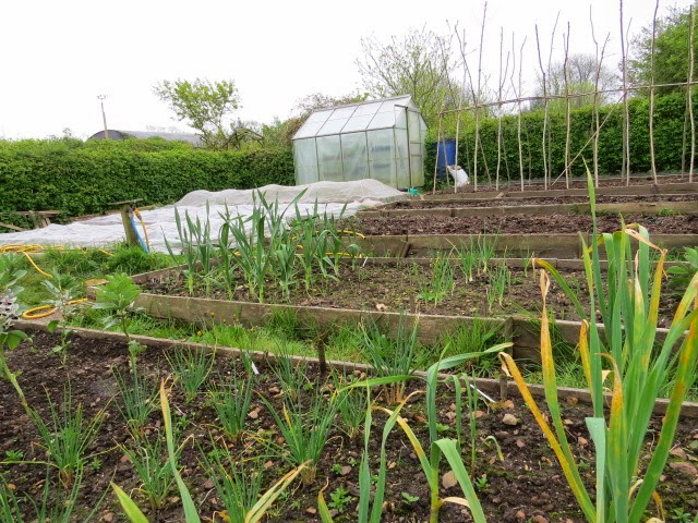 View over garlic and shallots