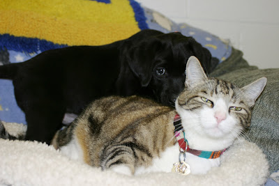 A small black labrador retriever puppy snuggles up with George the Cat