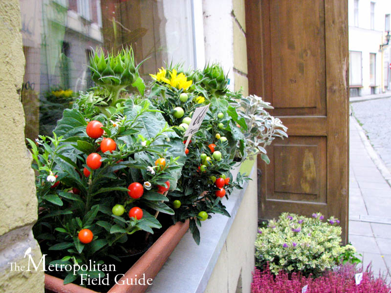 Window Box Garden: Kelly Brenner Of The Metropolitan Field Guide