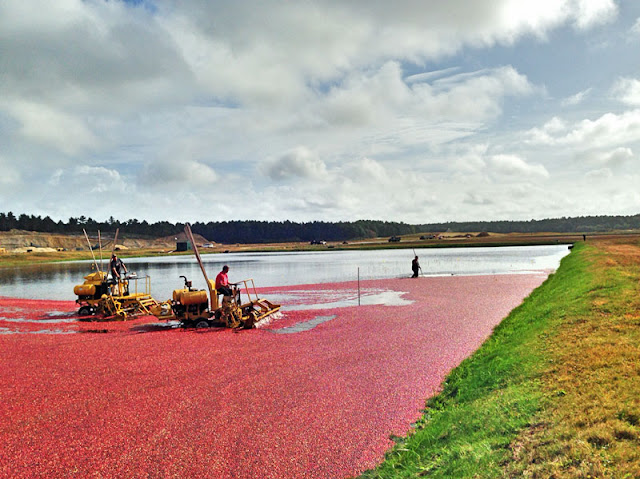 Cranberries harvested from a flooded bog go to make cranberry juice | Photo by J. LaBelle