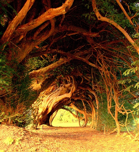1000 Year Old Yew Tree, England on Presenting The Wonder
