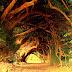 1000 Year Old Yew Tree - England