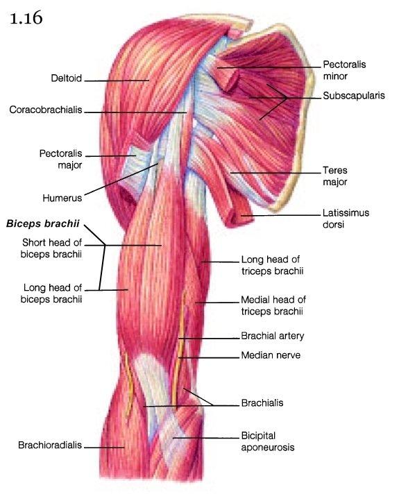 Mini Handbooks Skeletal Muscle Group Iv