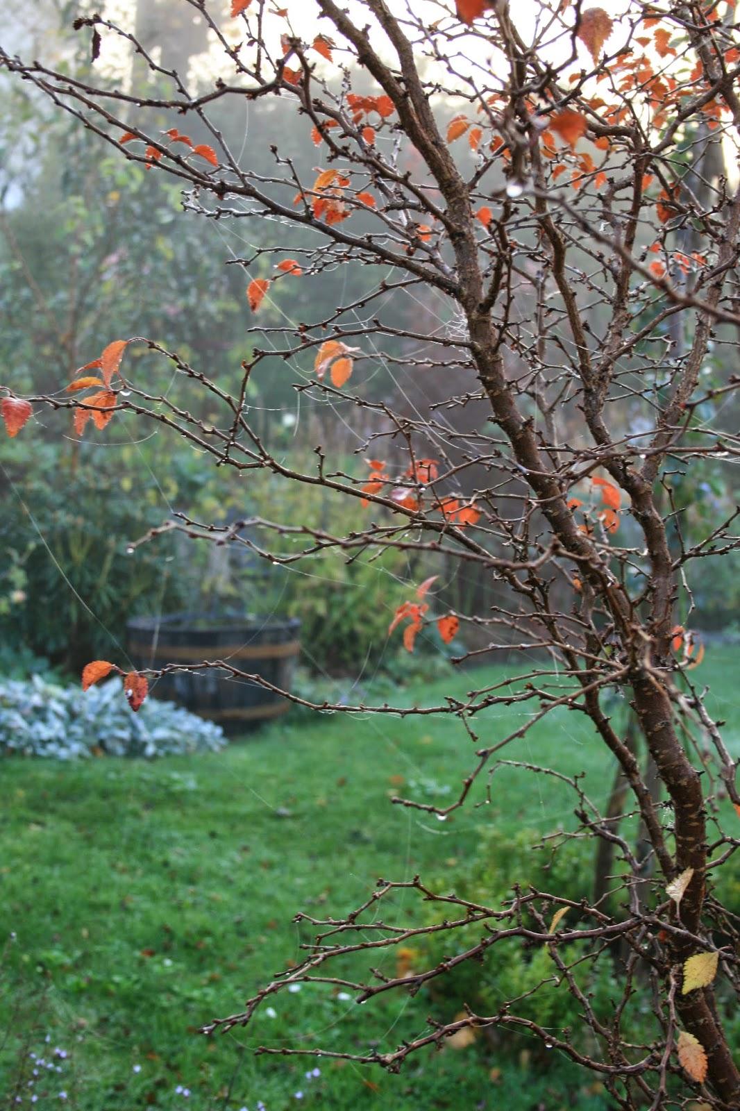 trädgårdsblogg stamkörsbär prunus