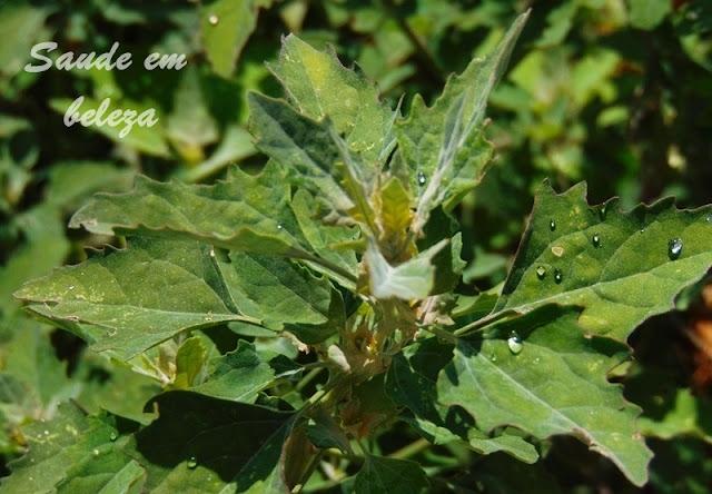 Benefícios da falsa erva de Santa Maria