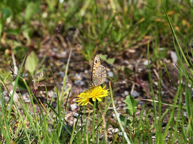 Wall Brown, Lasiommata megera