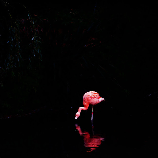 Flamingo with Red Knees - Photograph by Tim Irving