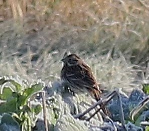 PINE BUNTING-VENUS POOLS-SHROPSHIRE-2ND JANUARY 2017