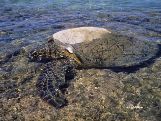 Green Sea Turtle returns to the ocean after basking