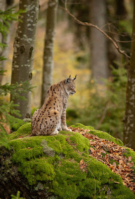 Mamá lince - Mother lynx (Animales en su hábitat natural)