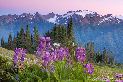 Mount Olympus and lupine along High Divide after sunset in Olympic National Park, Washington.