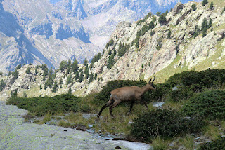 Chamois crossing the trail between Gordolasque Valley and Pas de l'Arpette