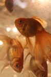 Beijing Noodle #9 goldfish