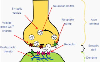 Structure of a typical chemical synapse