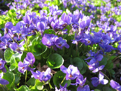 Sweet Violet (Viola Odorata) Overview, Health Benefits, Side effects